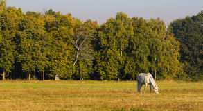 White horse with a foal grazing grass. Royalty Free Stock Photos