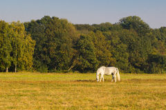 White horse with a foal grazing grass. Royalty Free Stock Images