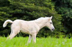 White horse foal in green grass Royalty Free Stock Image