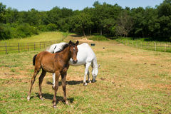White horse with foal Stock Photo
