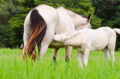 White horse foal suckling from mare Royalty Free Stock Photos