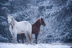 White horse and foal - winter forest Royalty Free Stock Photography