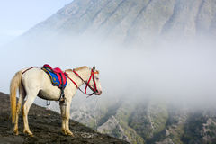 White horse and fog. At Bartok Volcano Indonesia stock photo