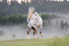 White horse in foggy field Royalty Free Stock Photography