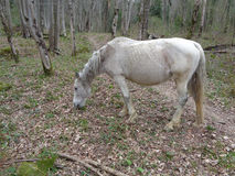 White horse in the forest. White horse grazing in forest glade Royalty Free Stock Image