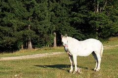 White horse in the forest Stock Images