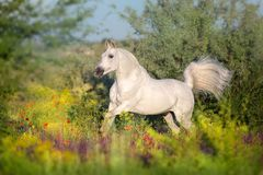 Horswe run in flower meadow. White horse free run in summer flowers meadow stock photos