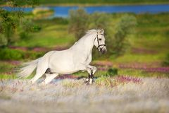 Horse run gallop. White horse free run in white stipa grass stock photos