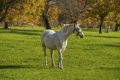 White horse in front of autumn fields close up Royalty Free Stock Photos