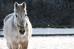 White horse frontal in sleet Royalty Free Stock Photos