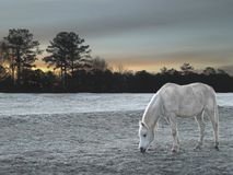 White Horse on frost covered field during sunrise Royalty Free Stock Images