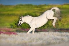 White horse fun Stock Photography