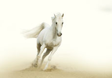 White horse gallop in a desert Stock Images