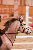 White horse in a gallop, mane removed. Stock Image