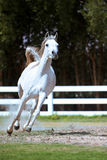 White horse galloping Royalty Free Stock Image
