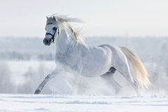 White horse galloping across the field in winter. stock images