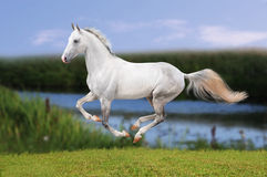 White horse galloping in evening meadow Stock Photo