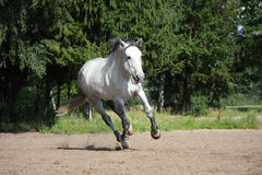 White horse galloping at the field and smiling Stock Images