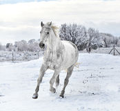 White Horse galloping in Snow Royalty Free Stock Image