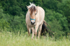 White Horse Going Forward on Pasture Stock Photography