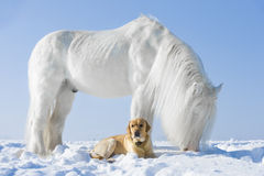 White horse and golden dog in winter stock images