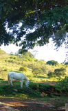 A White Horse Graving Stock Image