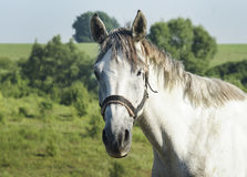 White horse with gray mane standing in a green field Royalty Free Stock Photos