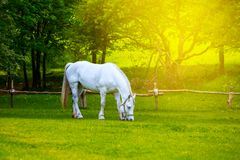White horse graze on a green rural pasture Royalty Free Stock Photos