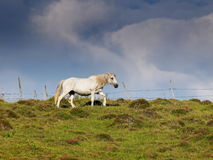 White horse grazed in summer green with dramatic cloudy background Stock Photo