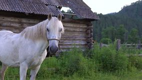 White horse in the countryside. A white horse grazes in the countryside in the evening stock footage