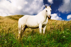 White horse grazes in the mountains Stock Images