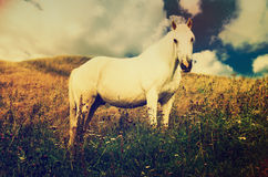 White horse grazes in the mountains Royalty Free Stock Images