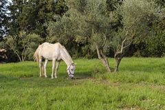 White horse grazes near the olive tree stock photo