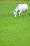 White horse grazing Royalty Free Stock Images