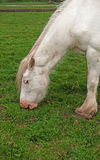 White horse grazing Royalty Free Stock Photos