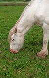 White horse grazing Royalty Free Stock Photos