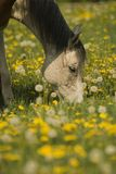 White horse grazing. On a beautiful dandelion overcasted meadow is a horse grazing and enjoy it Stock Photo