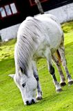 White horse grazing Royalty Free Stock Photo