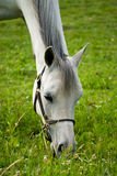 White horse grazing. Closeup of a white horse grazing in a green field Stock Image