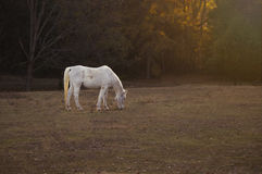 White Horse. A white horse grazing alone at sunset Royalty Free Stock Photography
