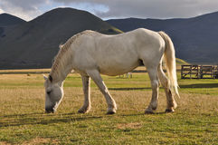 White horse grazing in the Apennines landscapes Royalty Free Stock Images