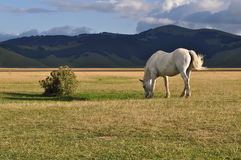 White horse grazing in the Apennines landscapes Royalty Free Stock Image