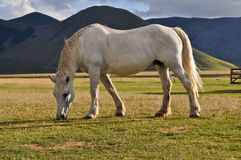 White horse grazing in the Apennines landscapes Stock Image