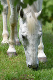White horse grazing. Closeup of a white horse grazing in a green grass field Royalty Free Stock Photo
