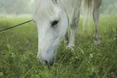 White horse is grazing. Closeup Stock Image