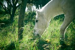 White horse grazing in cold. Old white horse grazes on the cold frozen fall grass in a highland october morning royalty free stock photography