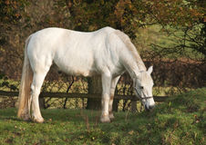 White horse grazing in early morning light Stock Photos