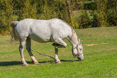 White horse grazing on a fall pasture Stock Photos