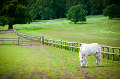 White Horse grazing on farmland. Stock Photos