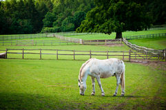 White Horse grazing on farmland. Stock Photo